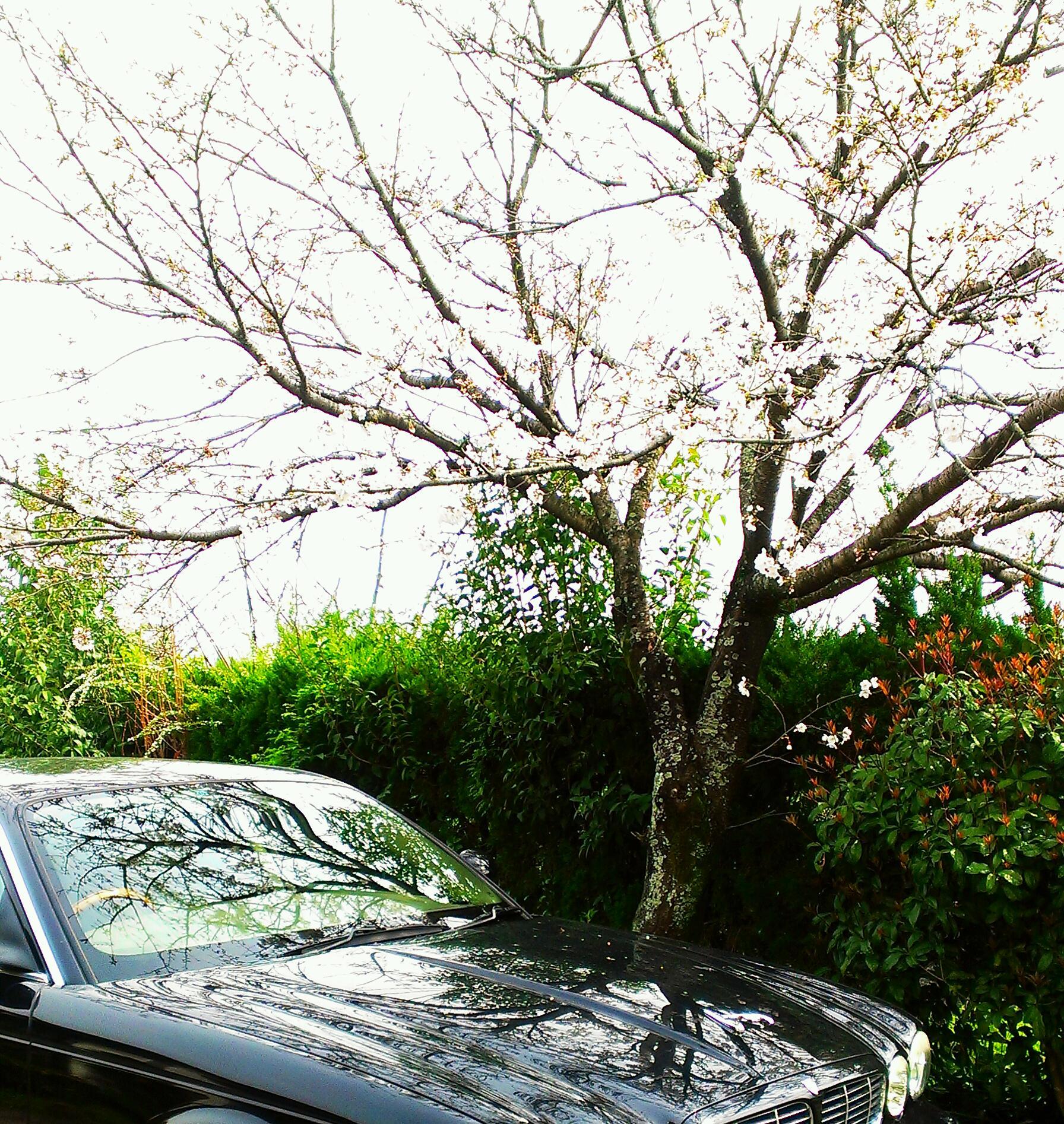 母桜とジャガー