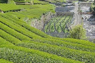 わさび田と茶畑