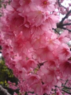 那覇の桜アップ