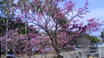 那覇の桜全体