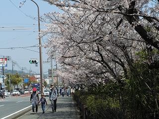 前八幡桜2