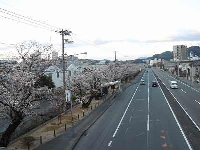 神戸製鋼桜