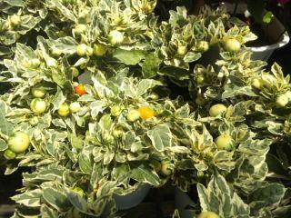 サマーサンゴ