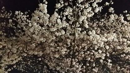 2016夜桜