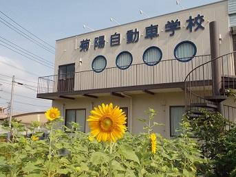菊陽ひまわり3