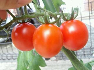 トマト〜♪