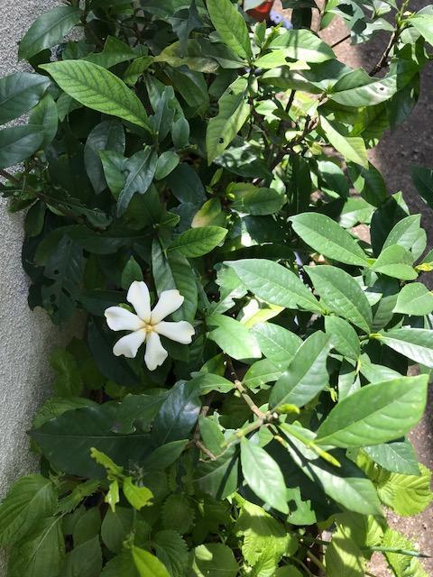 庭にくちなしの花が咲
