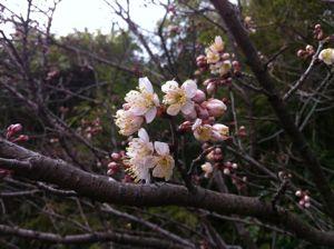 さくら咲き始め!