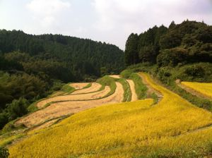 秋の実り(米)3