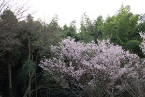 山桜(1)