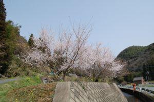 山桜(2)