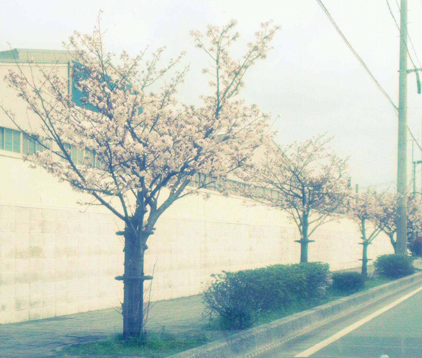 柳川市内にも桜が!