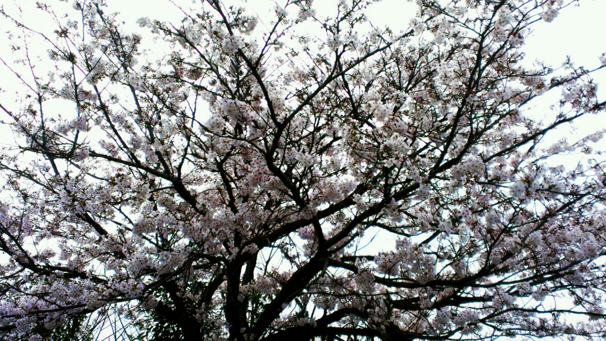母桜  冬は必ず