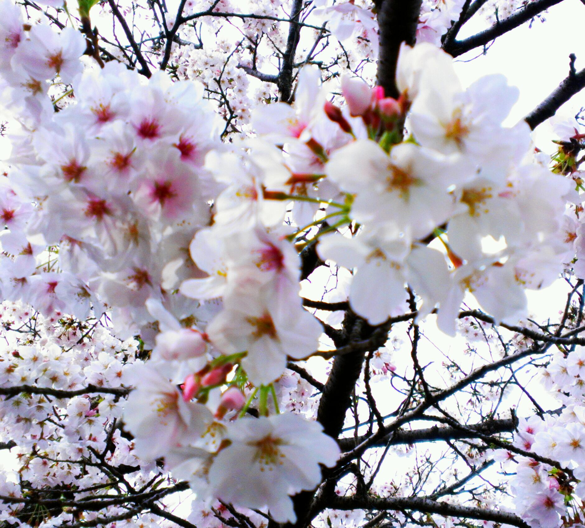 我が家の母桜