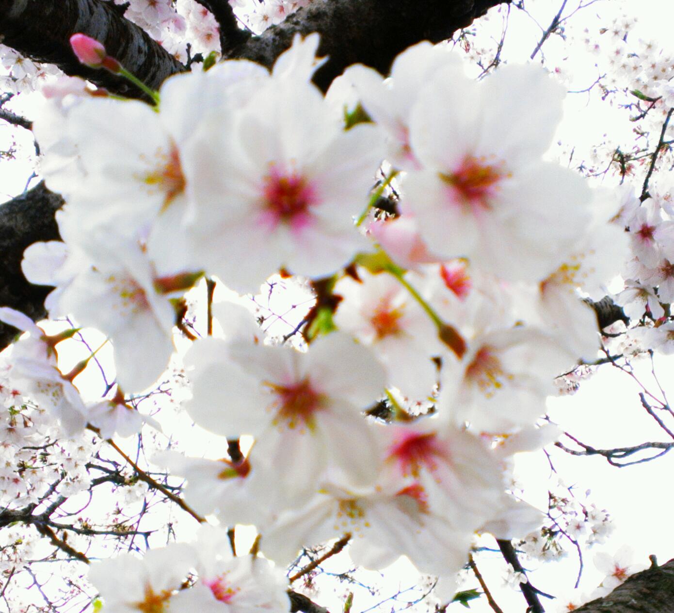 我が家の母桜3