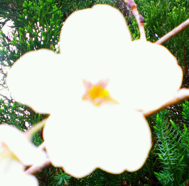 我が家の母桜4