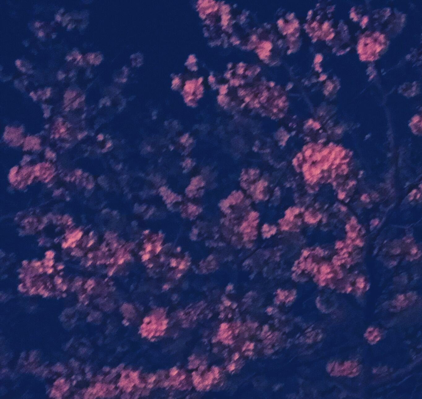 わが家の夜桜